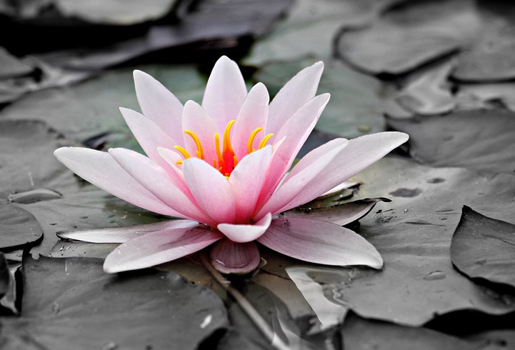 water-lily-pink-aquatic-plant-pink-water-lily-127584